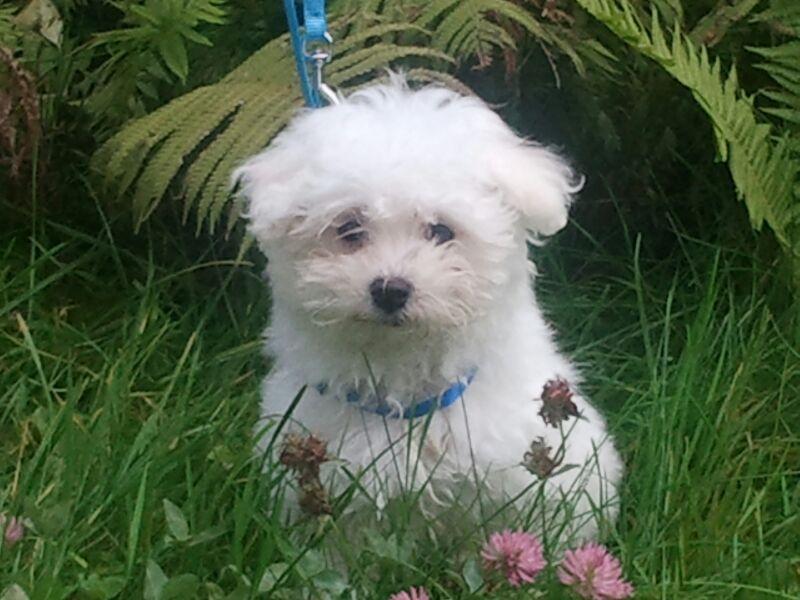 Jamie Malteser Pawshake Dogs Adorable Animals