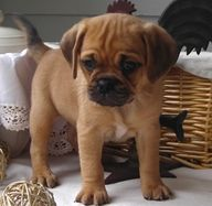I Think Its A Lab And A Pug Mix Puggle Puppies