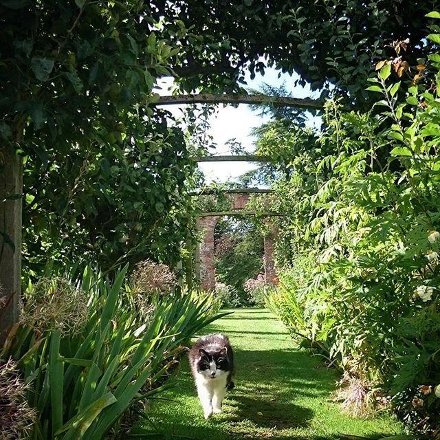Gunby's Craig was patrolling his garden this morning  #gunbyhall #nationaltrust #ntmidlands #cat #catagram #catstagram #catsofinstagram #norwegianforestcat #diabeticcat #garden #gardens #walledgarden #historicgarden #heritage #nature #Lincolnshire #England #Britain
