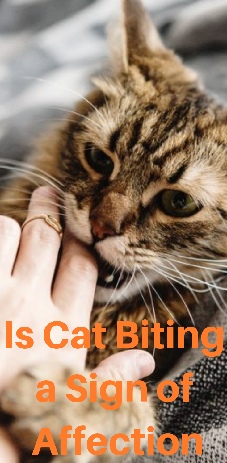 Is Cat Biting A Sign Of Affection Cat Biting Cats Cat Behavior