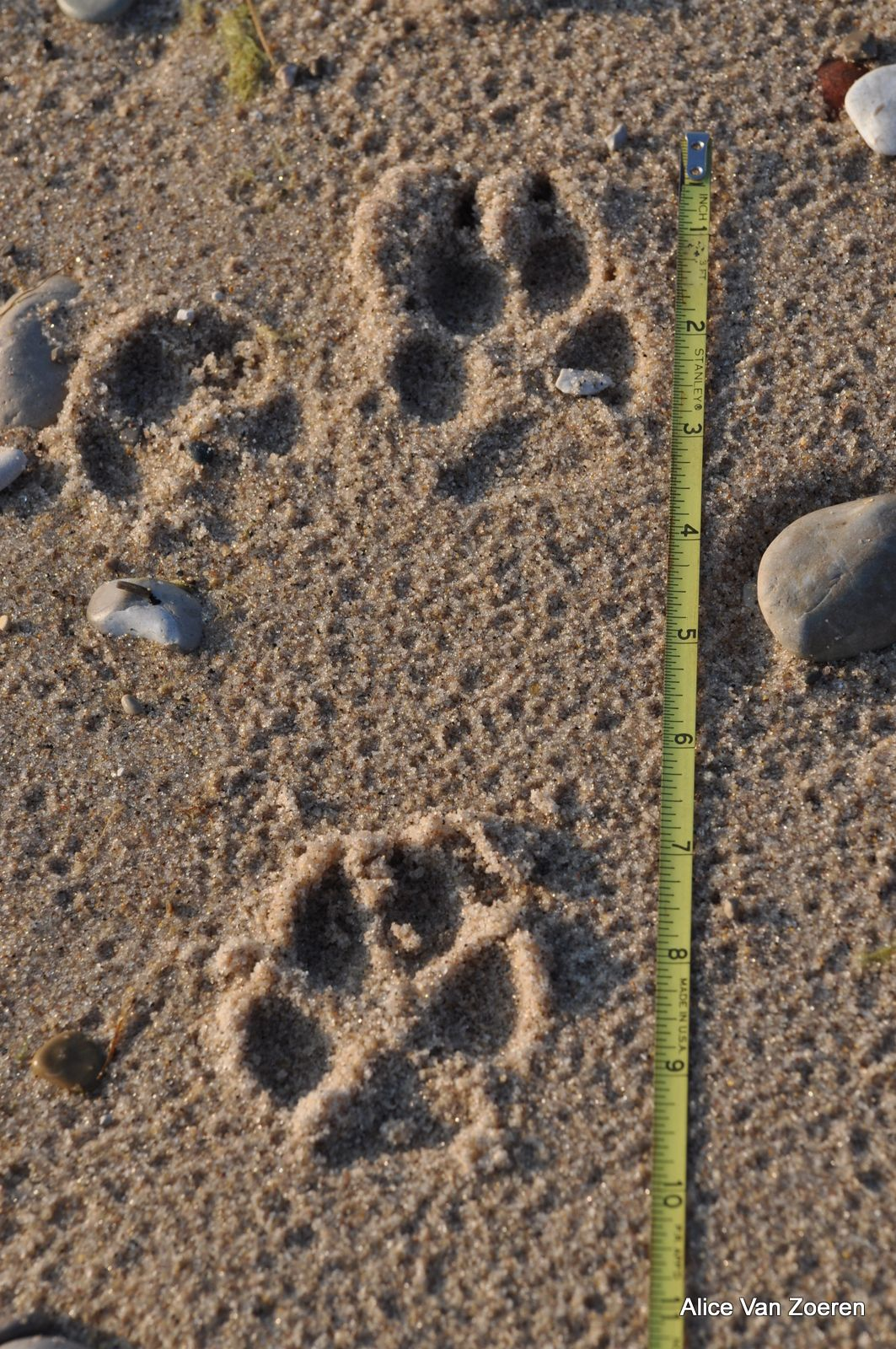 Difference Between Bobcat and Coyote Track Track | Coyote Tracks