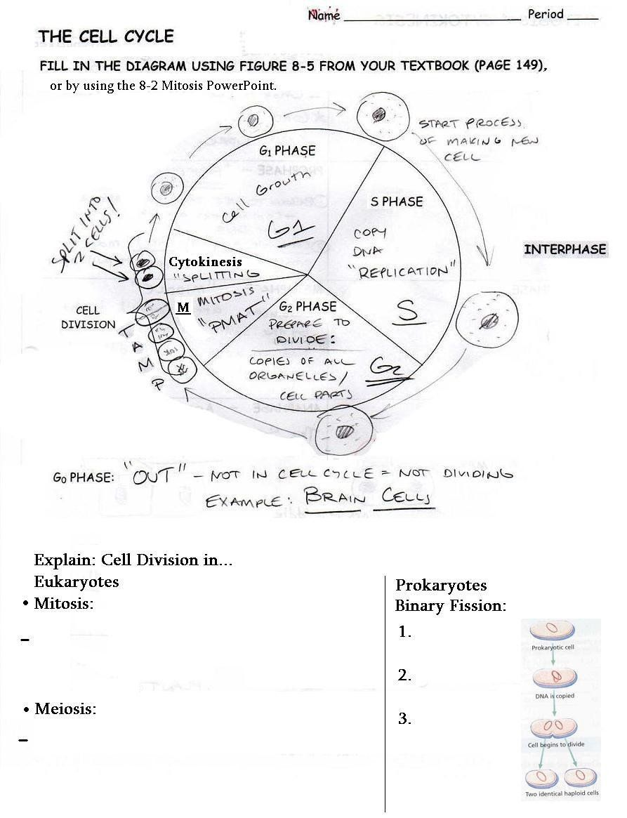 The Cell Cycle Worksheet The Cell Cycle Coloring Worksheet Answer Key Brilliant The Cell Cycle Kids Worksheets Printables The Cell