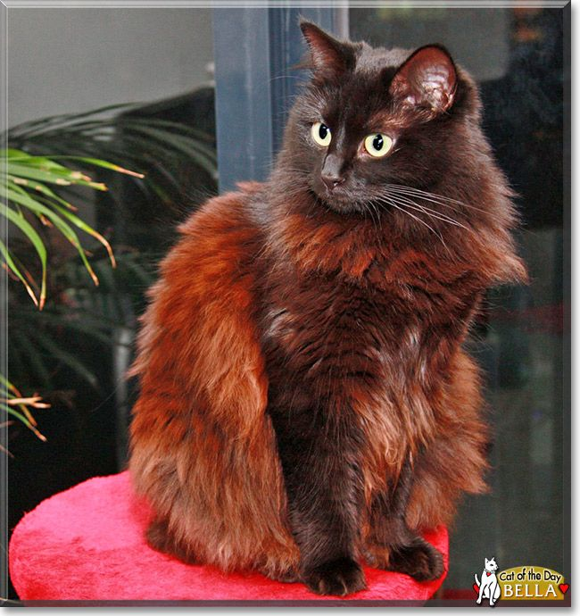 This Is My Cat Bella She Is A Chocolate Coated Ragdoll One Picture Is From When She Was A Little Kitten And The Othe Cat Day Cat Breeder Cat Photo