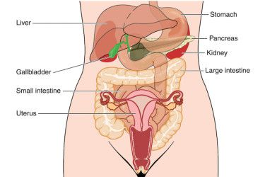 The Stomach's Not Connected to the Uterus—But Some Kids (and Lawmakers)  Might Really Think It Is | Human anatomy picture, Human anatomy female,  Anatomy images