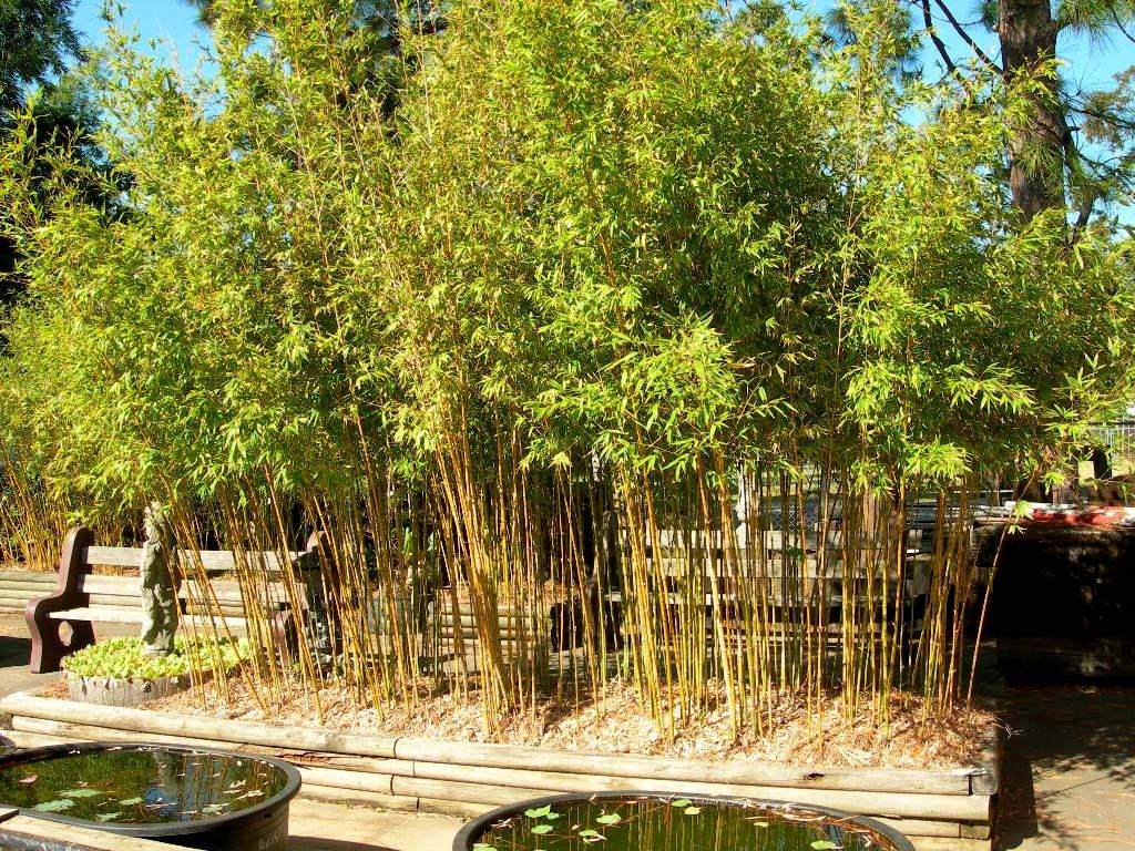 Phyllostachys Aurea Golden Bamboo Zone 7 Plant Species Small