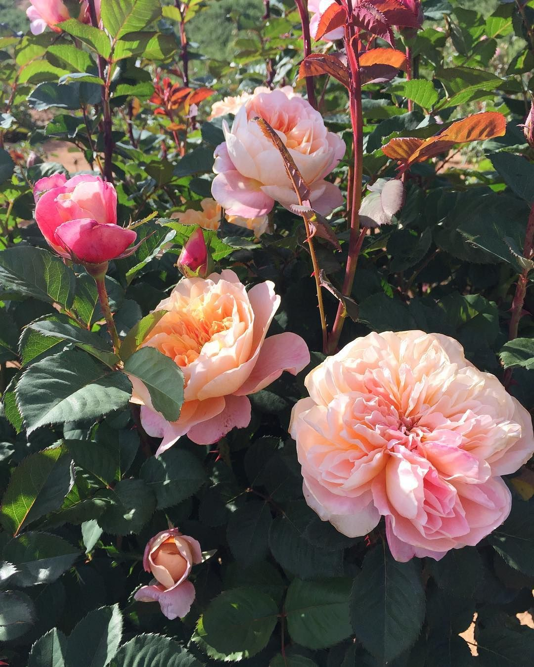 Nancy Teasley Ella Rose Farm On Instagram The Bushes I Bought From Heirloom Roses Have Seriously Taken Off This Year Heirloom Roses Rose Amazing Gardens