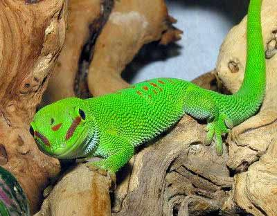 Article Guide To Lizard Selection Care And Handling Pet Lizards Lizard Species Best Lizard Pets