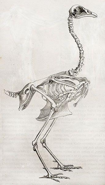 Chicken Skeleton | ESQUELET | Pinterest