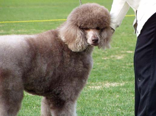 Silver Chocolate Standard Standard Poodle Dog Haircuts Poodle Pin