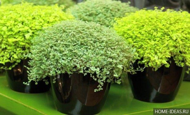 Не Цветущие Комнатные Растения Название И Фото