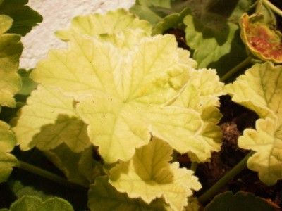 Why A Geranium Gets Yellow Leaves With Images Geraniums