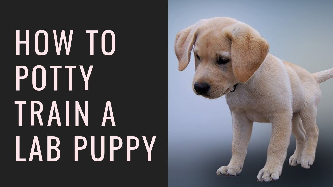 How To Train Lab Dog In Home Training A Lab Puppy Lab Puppy Training Lab Dogs