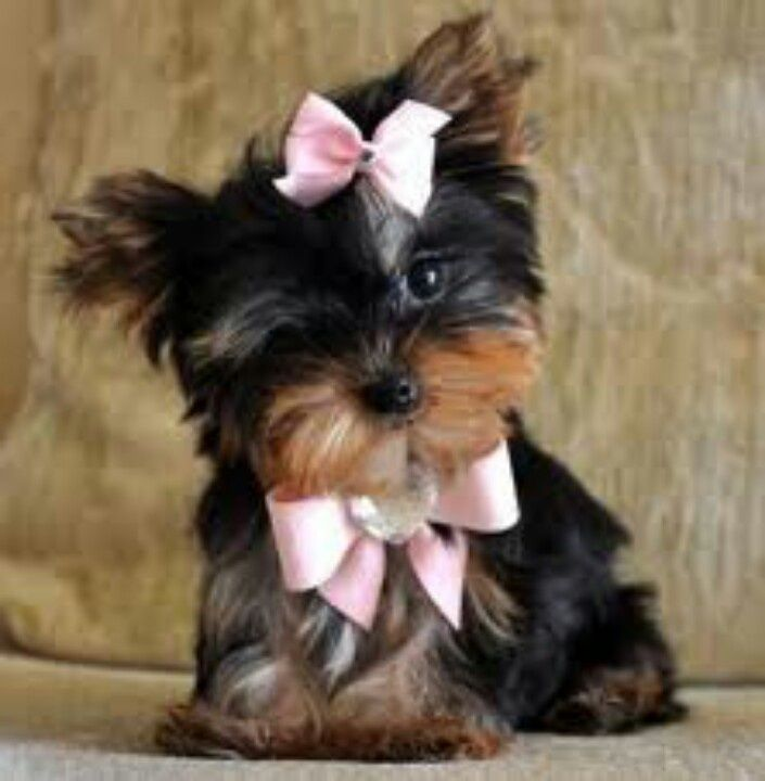 Uggh So Cute Makes My Heart Melt Teacup Dogs Puppies Yorkie Puppy Teacup Puppies Maltese