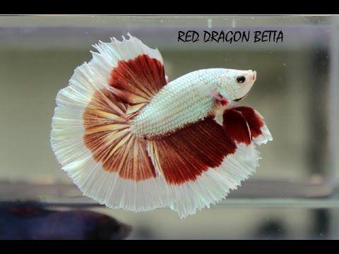 The International Betta Competition Magnificent Fighting Fish On Show Youtube Betta Betta Fish Betta Fish Tank