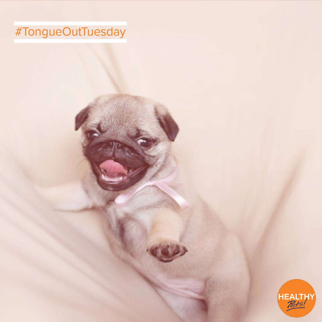 Introducing The Tiniest Tongueouttuesday Think Your Pet Can Top This Pug S Adorable Effort Show Us In The Comments Cat Insurance Dog Insurance Pets