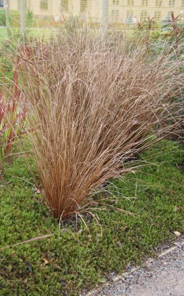 Immergrune Ziergraser Blattschmuck Fur Den Winter Ziergras Gras Pflanzen