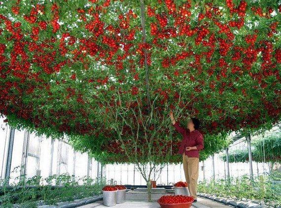 Italian Tree Tomato 'Climbing Trip-L-Crop' Tomato by Greenworld1