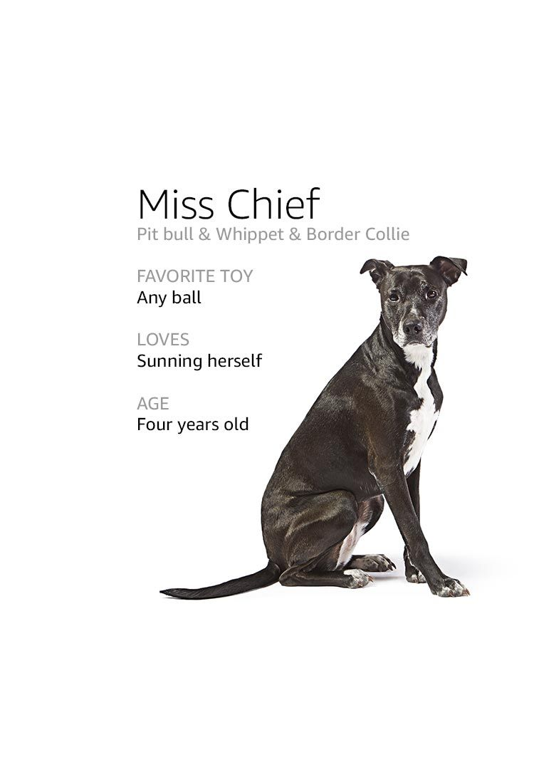 Sit Stay Play Dog Names Dogs Whippet