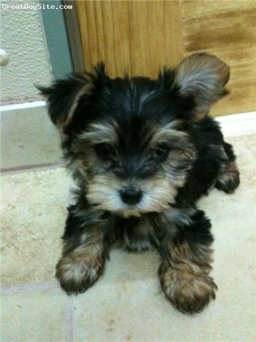 Morkie 8 Weeks Black And Tan For Now Dam Was Purebreed