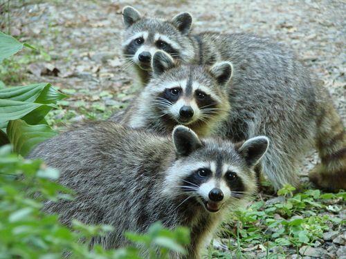 Rabies Reports From California Georgia New Jersey New York Cute Raccoon Pet Raccoon Animals