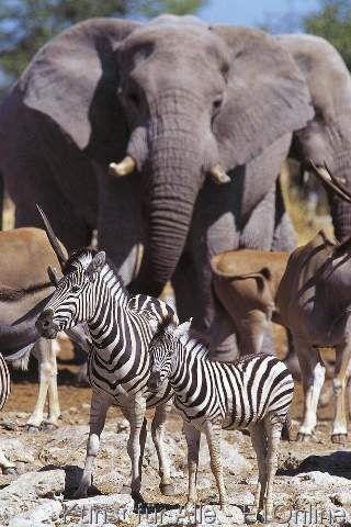 Jungtier vor Elefant ( Loxodonta africana ), Burchelli-Zebra ( Equuus burchelli), Mit Fohlen, Steppenzebra