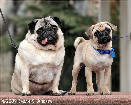 Fat Pug, Skinny Pug. We know who gets to the food bowl first.
