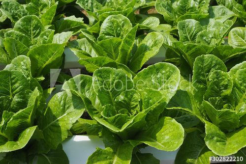 Fresh green salad costa vegetables in a vegetable garden for background , #Aff, #salad, #costa, #Fresh, #green, #garden #Ad