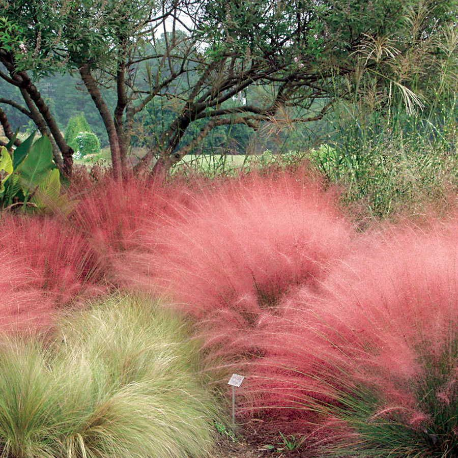 Pink muhly grass grasses perennials and drought tolerant for Ornamental grass with pink flowers