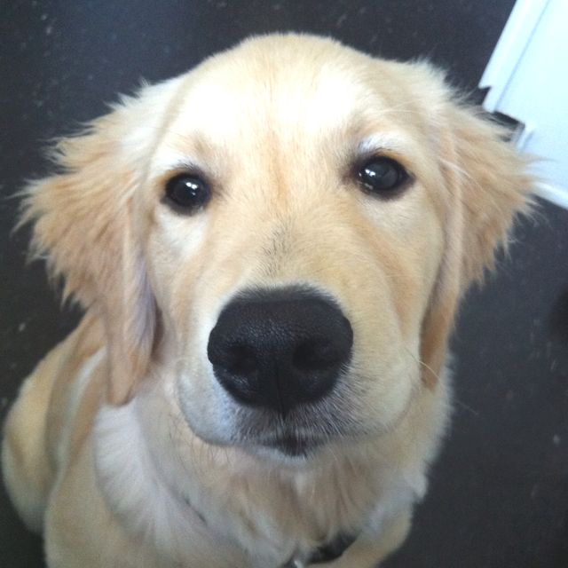 Oliver 4 Month Old Golden Retriever My Baby Mascotas