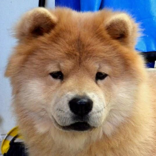 Adopt Misha Nj On Red To Blonde Chow Chow Dogs Dogs