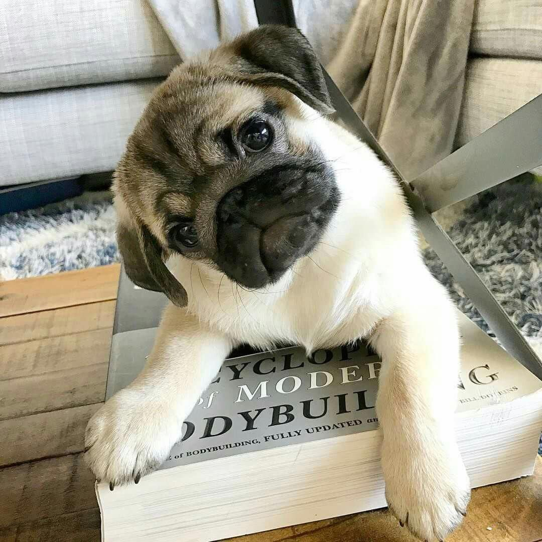 Explore Our Internet Site For Even More Relevant Information On Pug Dogs It Is An Exceptional Area To Find Out More Mops Hund Mops Niedliche Tiere