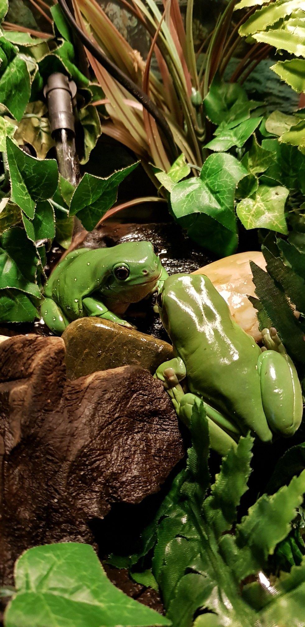 So cute   ranas   Pinterest   Anfibios, Ranas y Hermosa