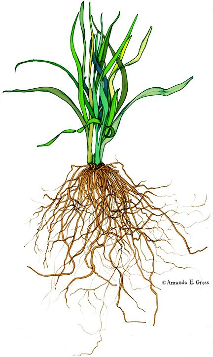 Onion Plant W Root System Botanical Drawing On Behance