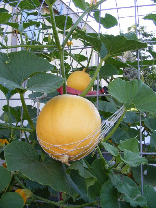 Japan Agriculture Technology Hydroponic Melon Can Produce 60