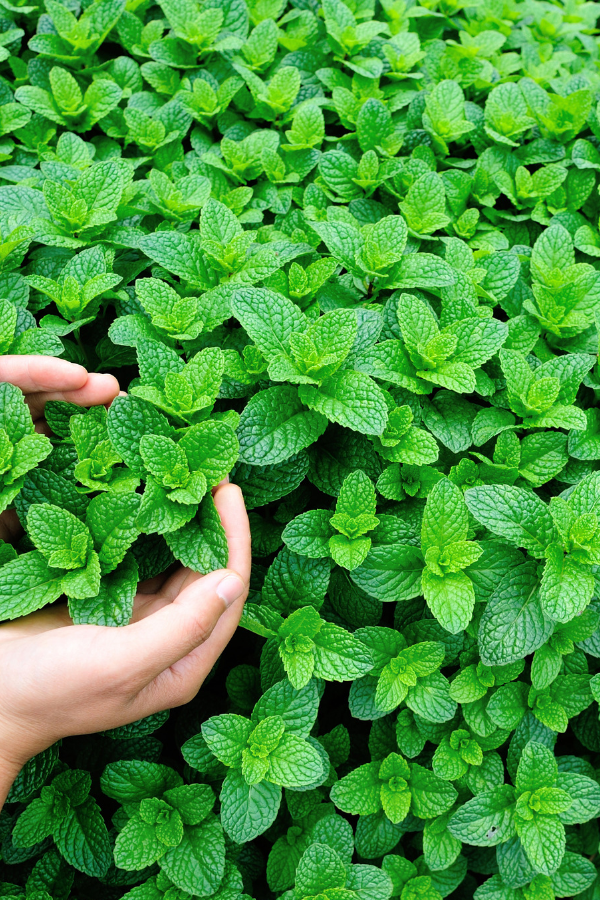 How to Grow a Mint Garden will show you all the ins and outs of this amazing herb. Mint is one of the best things to grow in your garden. Find out why.