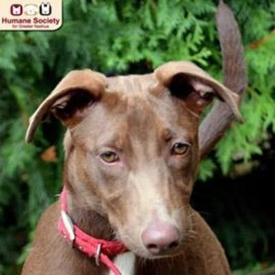 Nashua Nh Doberman Pinscher Meet Willa A Dog For Adoption