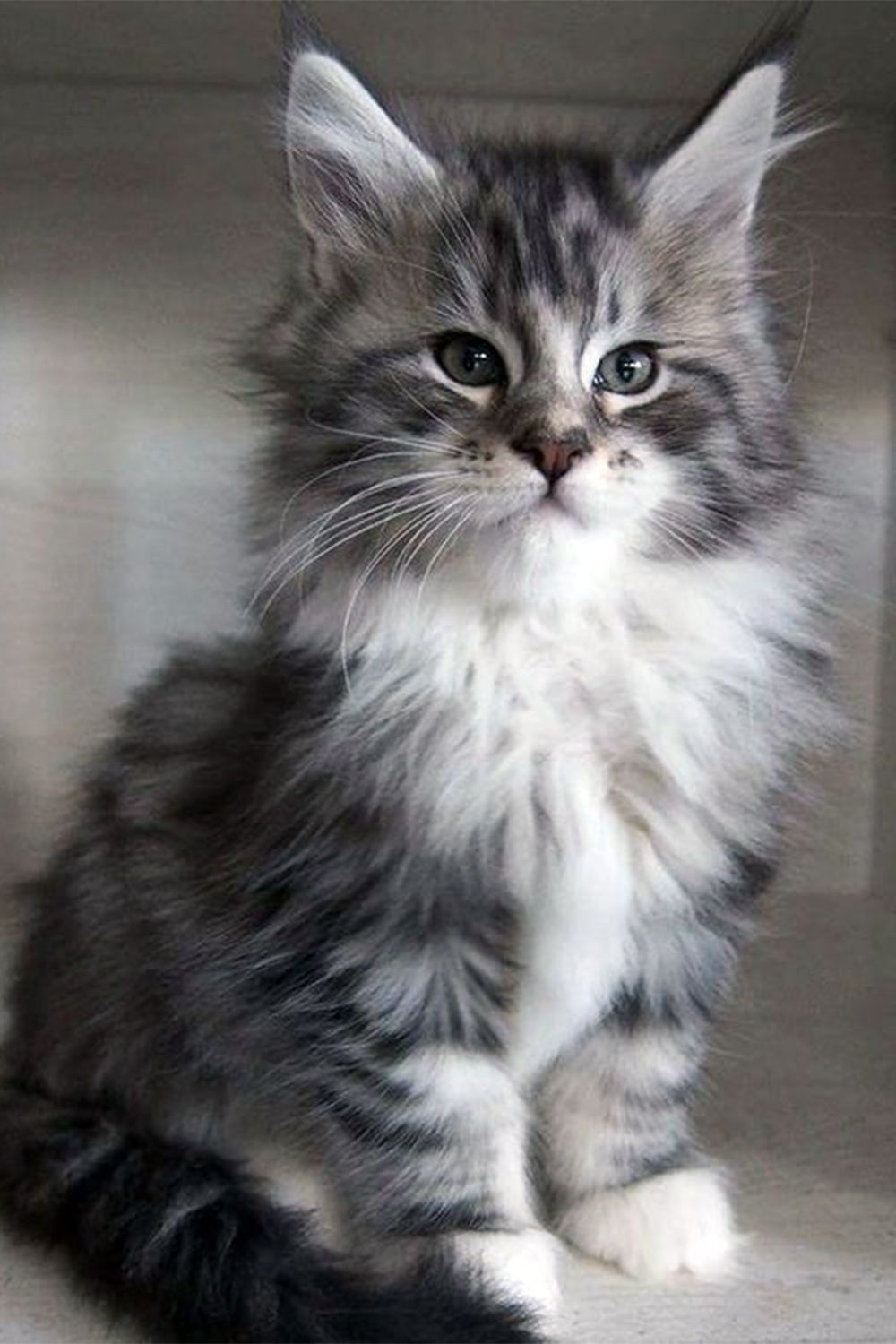 free maine coon kittens for adoption