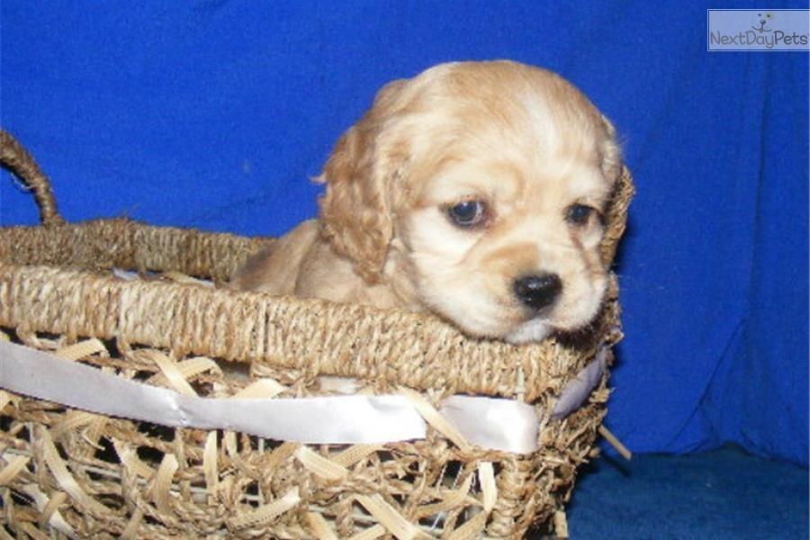 Buffie Cocker Spaniel Puppy For Sale Near Jonesboro Arkansas