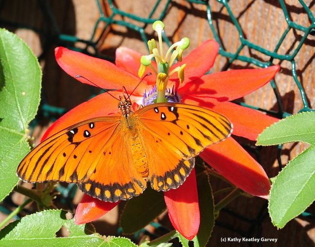 Gulf Fritillary On The Blossom Of A Passion Flower Vine Butterfly Flowering Vines Bee Moth Beautiful Butterflies