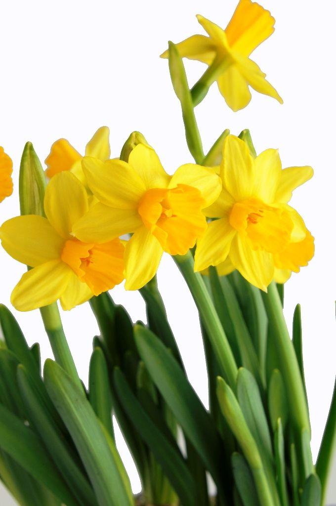 Bulbi Fiori Gialli.Narciso Fiore Narciso Fiori E Fiori Gialli