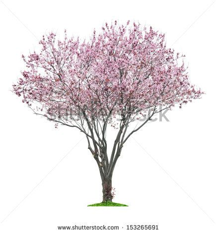 Blossoming Pink Sacura Tree Isolated On White Background Stock Photo Tree Photoshop Tree Psd Flowering Trees