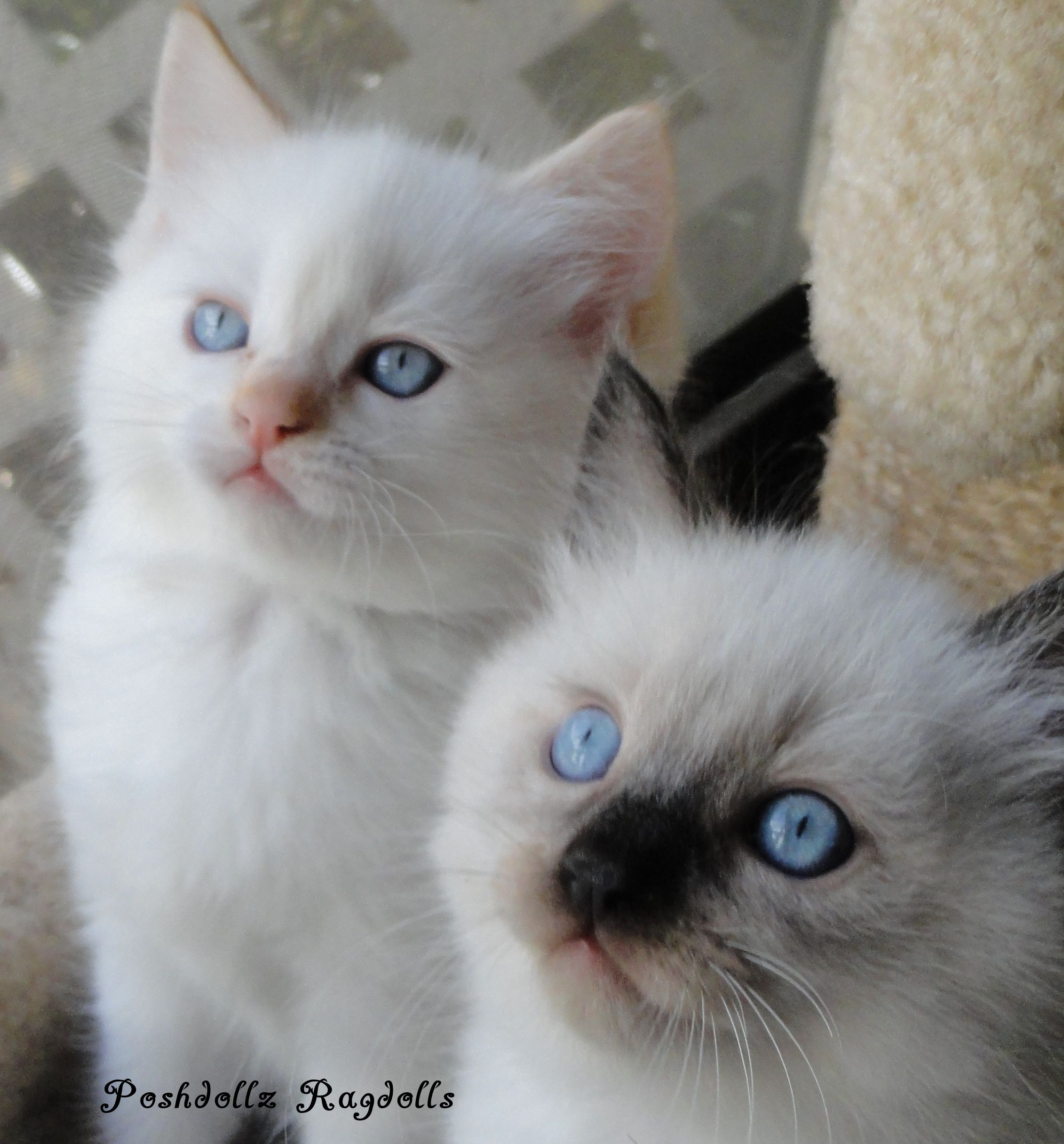 Flame Point Mitted And Seal Colorpoint Ragdoll Kittens Cute Cats And Kittens Ragdoll Cat Ragdoll Kitten