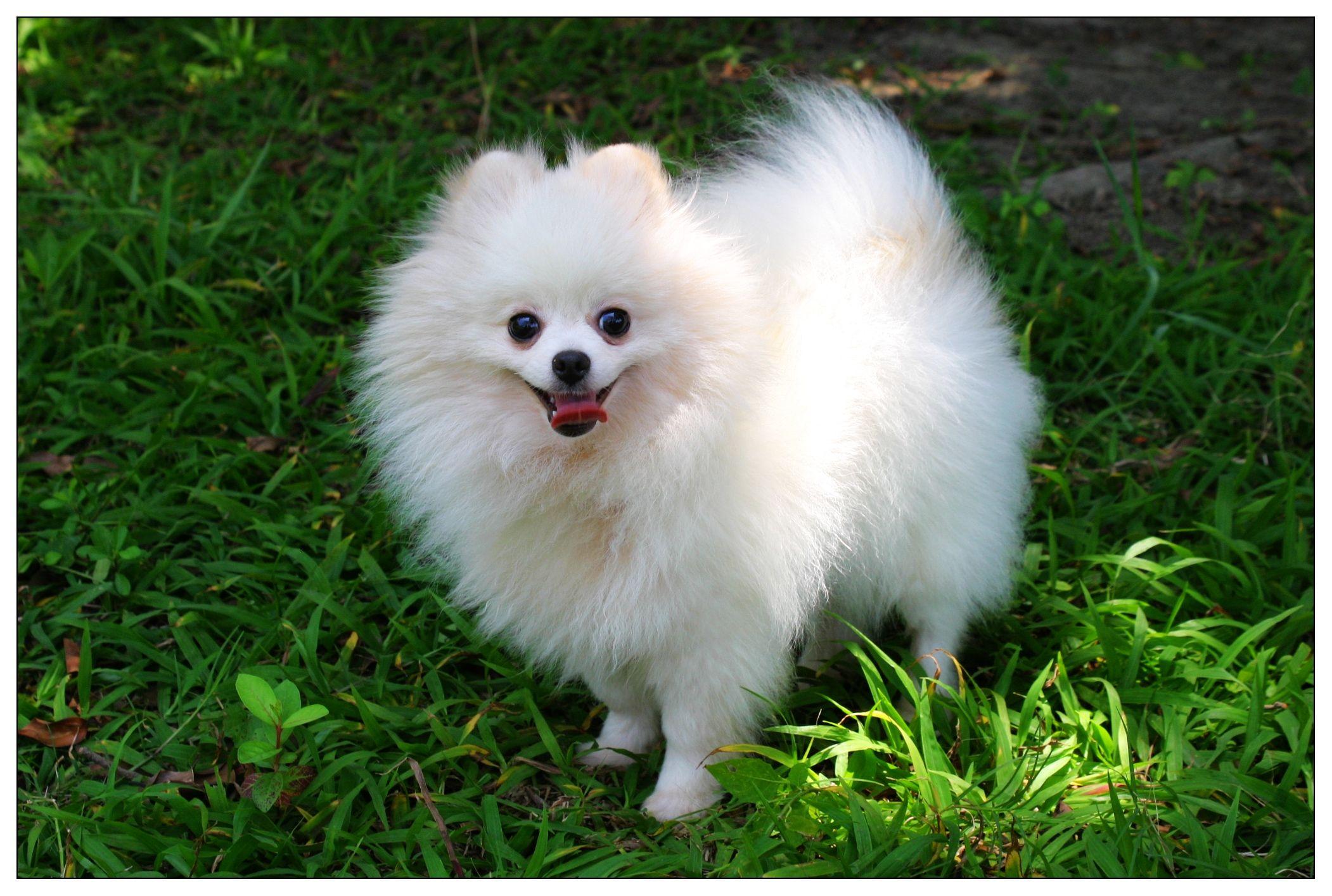 A fluffy white Pomeranian | Pomeranian | Pinterest