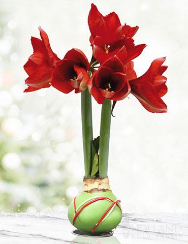 Green Picasso Base Waxed Amaryllis Amaryllis Garden Gifts Amaryllis Flowers