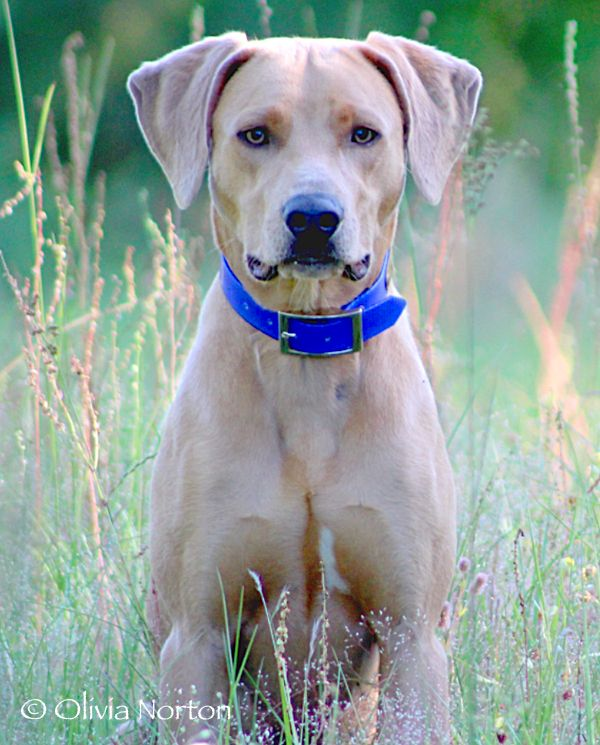 blue lacy dog dobies rotties doxies lacys and gsds