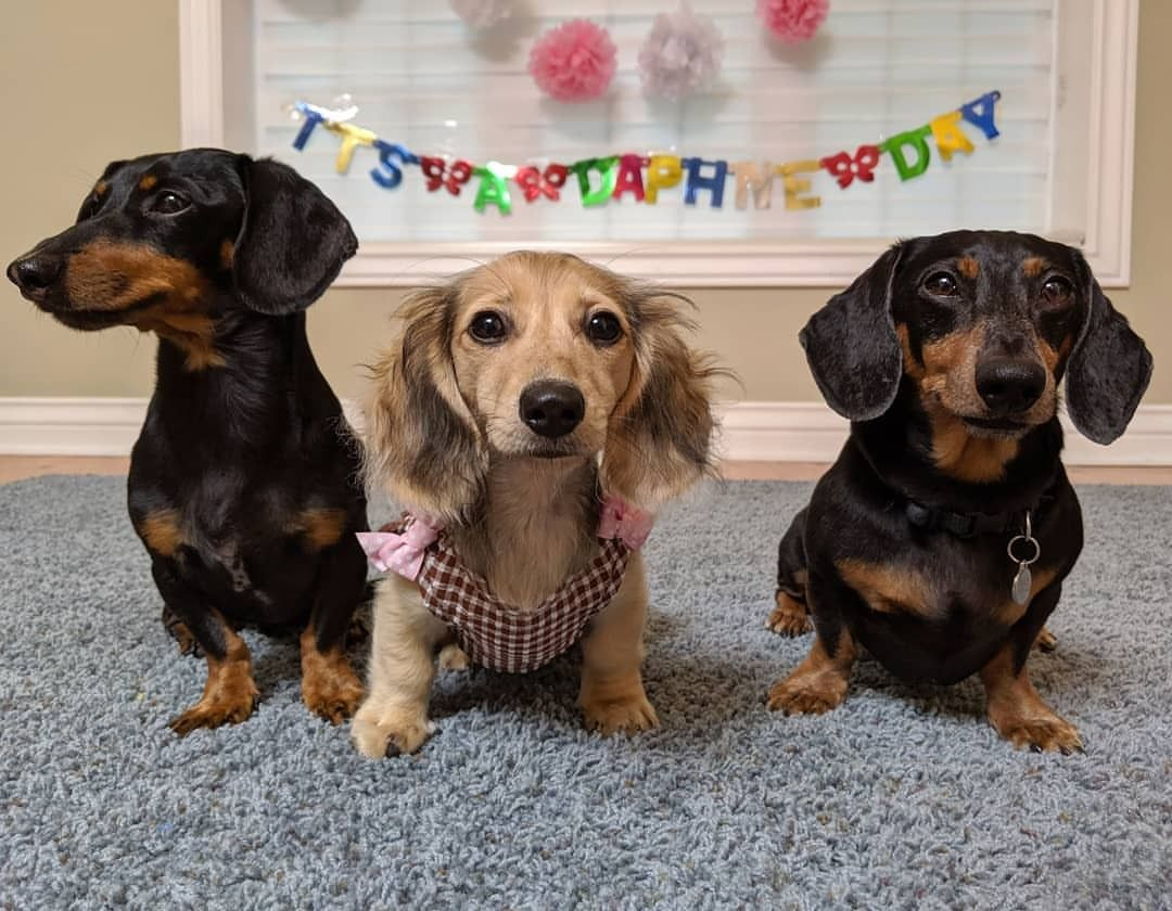 We And The Fans Officially Welcomed Daphne To The Family With Her Baby Shower Today E Crusoe The Celebrity Dachshund Dachshund Pets Dachshund Puppy Miniature