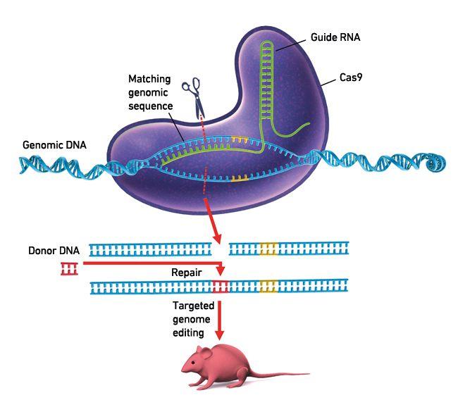 Esquema Del Sistema Crispr Cas Con Imagenes Microbiologia