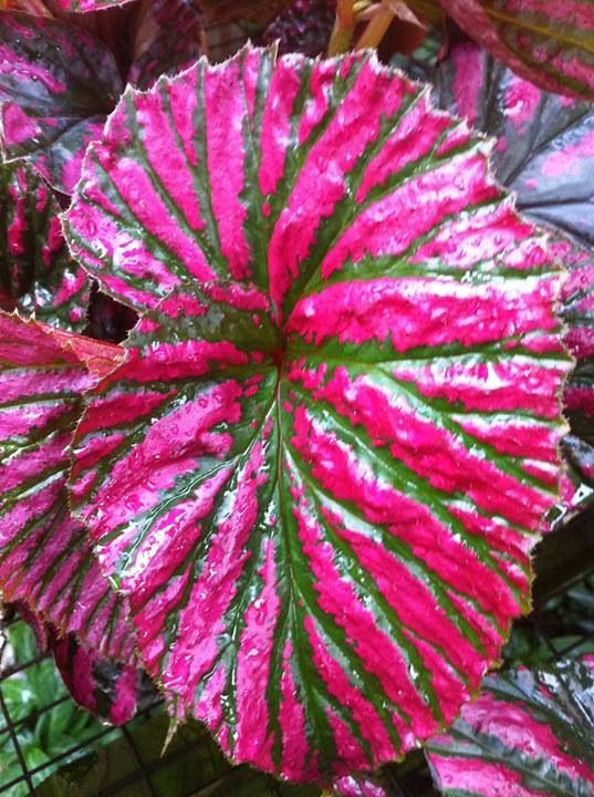 Wow The Colors In This Leaf Begonia Plants House Plants