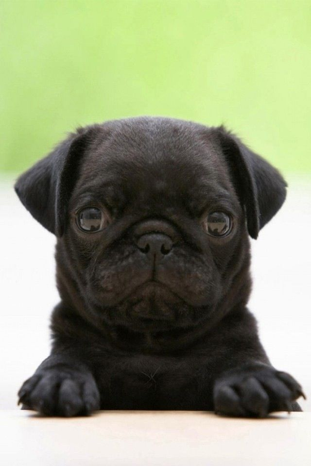 Pugs Pugs Pugs They Reign With Images Black Pug Puppies