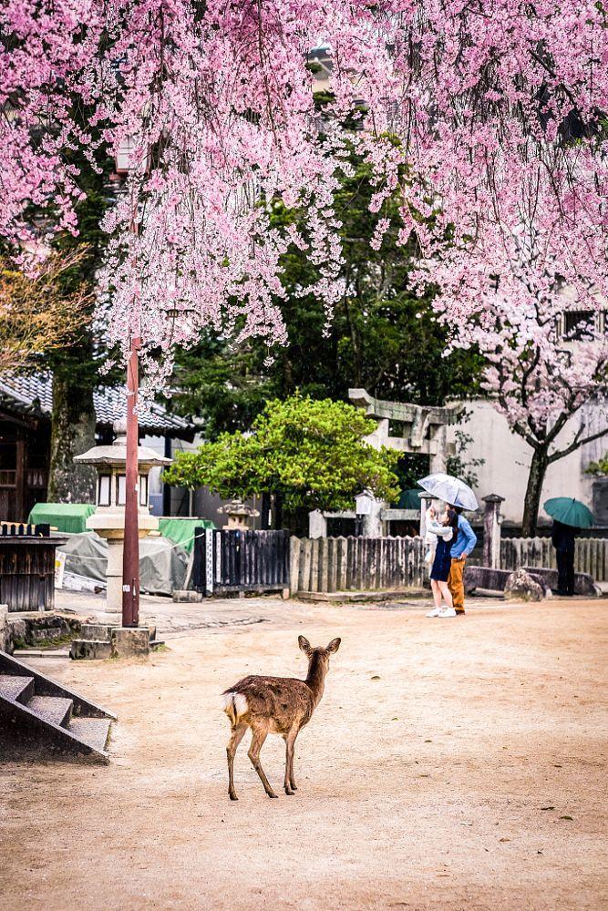 Pin On Bunga Sakura